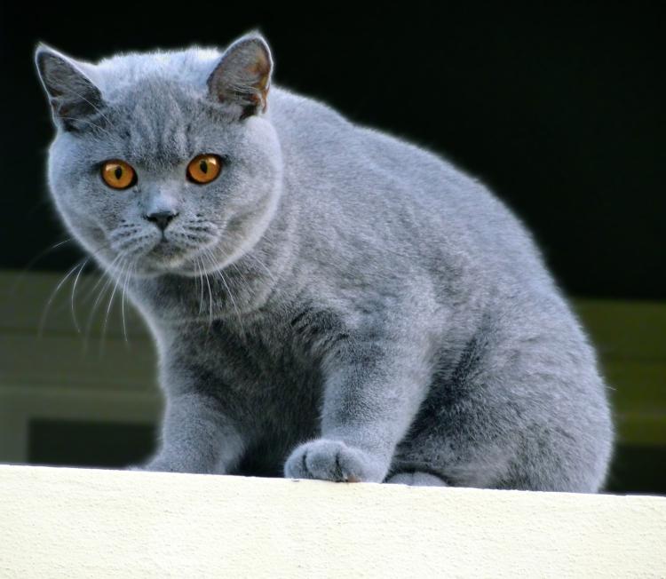 british-shorthair-blue-rossana-british-byron