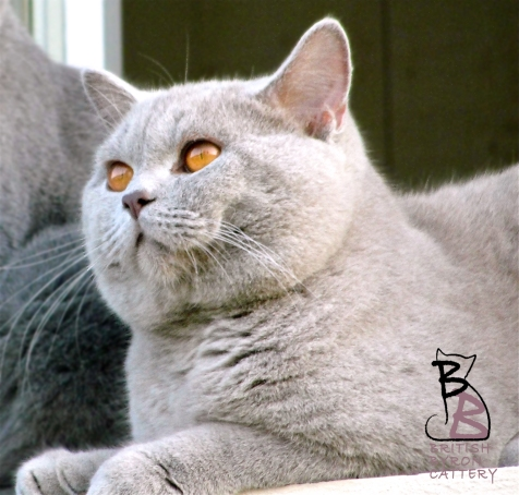 british shorthair lilac leone british byron