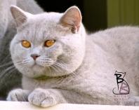 british shorthair lilac leone british byron