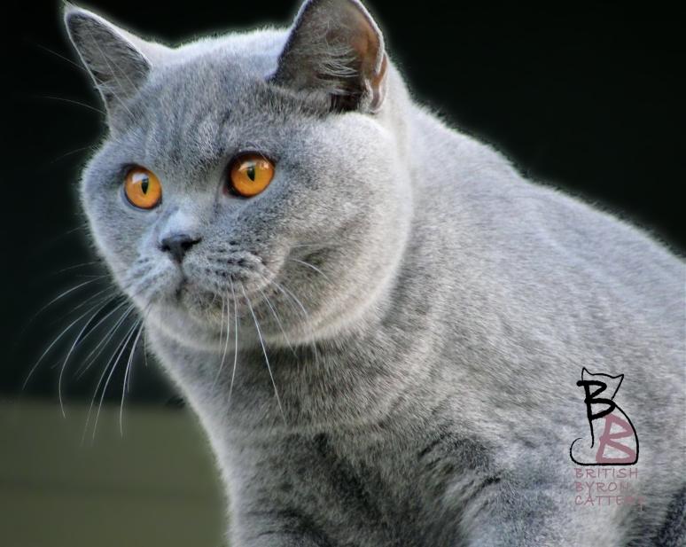 british shorthair blue rossana british byron