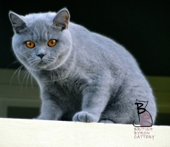 british shorthair blue rossana british byron