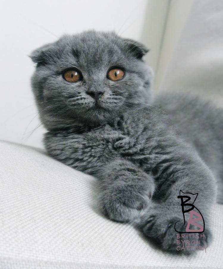 cucciolo-gatto-british-scottish-fold-2