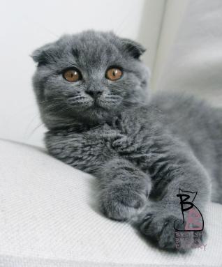 cucciolo-gatto-scottish-fold-2