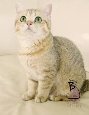 gatto british shorthair Cleo1-logo-