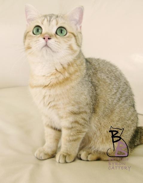 gatto british shorthair Cleo1-logo-