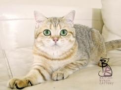 gatto british shorthair Cleo2-logo-