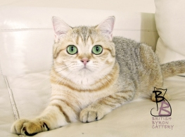 gatto british shorthair Cleo2-logo-