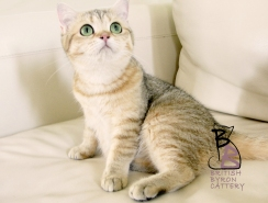 gatto british shorthair Cleo4-logo-