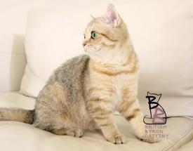 gatto british shorthair Cleo5-logo-