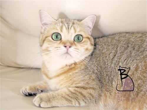 gatto british shorthair Cleo6-logo-