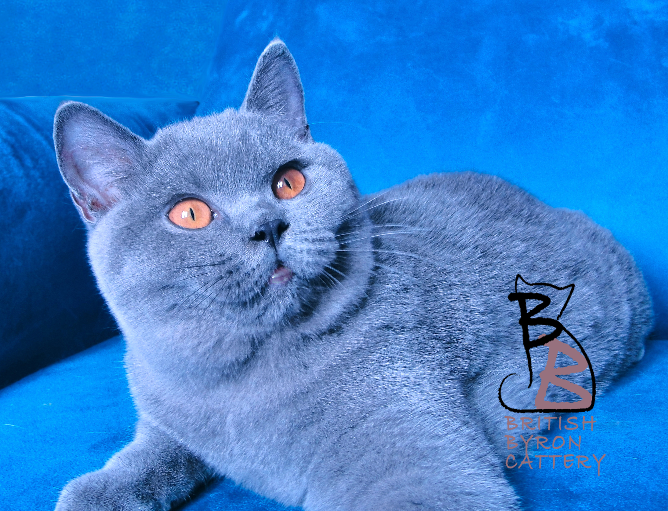 gatto british shorthair rossana 2-logo-