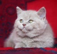 gatto cucciolo leone british byron1