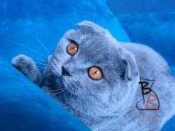 gatto scottish fold bettina2-logo-