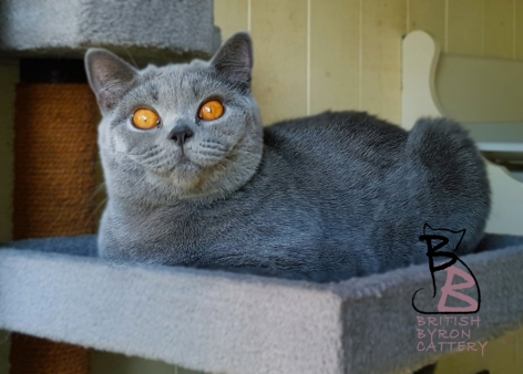 layla birtish shorthair british byron cattery