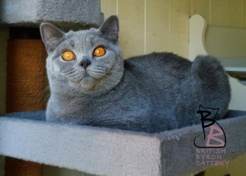 layla birtish shorthair british byron cattery