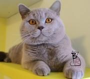 leone-british-byron-cattery-2-copia
