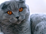 scottish-fold-blue-bettina-british-byron