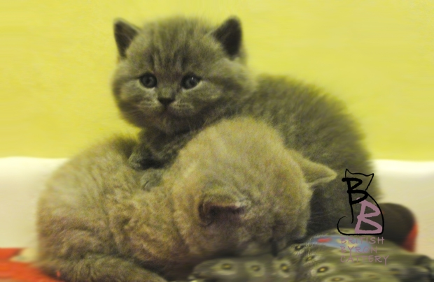 cucciolata-british-shirthair-b-british-byron-cattery-5
