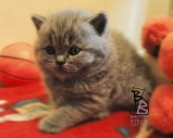 cucciolata-british-shorthair-b-british-byron-cattery-2