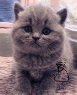 cucciolata-british-shorthair-b-british-byron-cattery-3