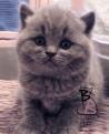 cucciolata-british-shorthair-b-british-byron-cattery-3