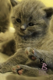 cucciolata-british-shorthair-b-british-byron-cattery
