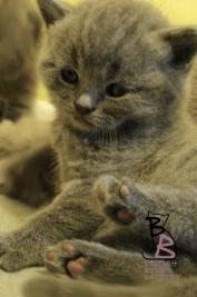 cucciolata-british-shorthair-b-british-byron-cattery