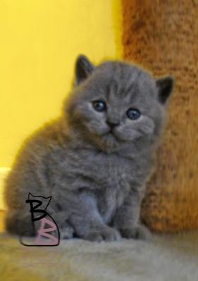 cuccioli-rossana-2016-british-byron-cattery