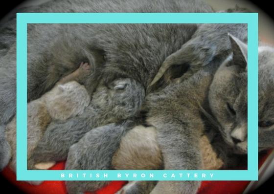 british byron cattery kittens