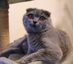 bettina-british-byron-cattery-1