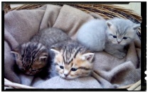 british-byron-kittens-3