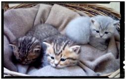 british-byron-kittens-3