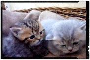 british-byron-kittens-4