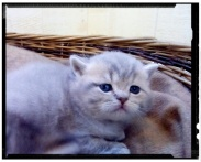 british-byron-kittens-5