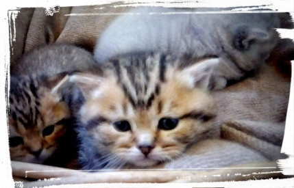 british-byron-kittens-6