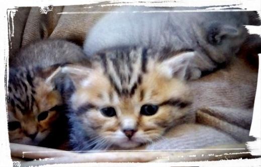 british-byron-kittens-6