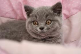 british-byron-kittens-9