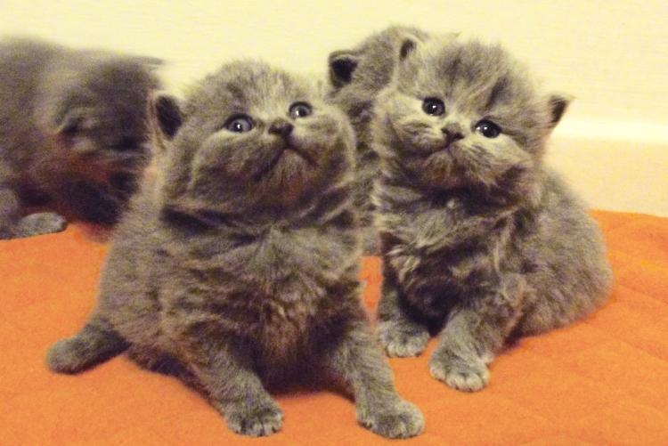cuccioli-bettina-british-byron-cattery-1