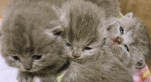 cuccioli-bettina-british-byron-cattery-2