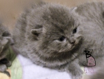 cuccioli-bettina-british-byron-cattery-3