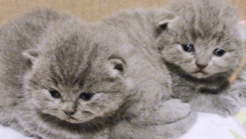 cuccioli-bettina-british-byron-cattery-6