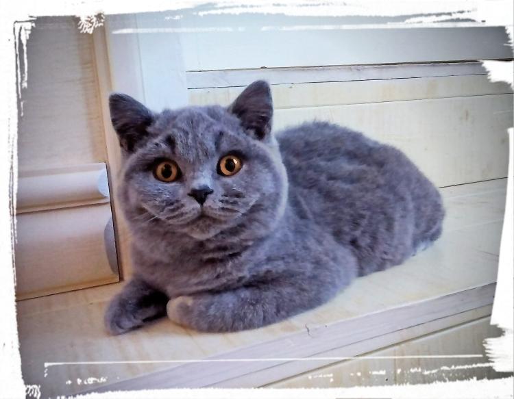 layla-british-byron-cattery-1