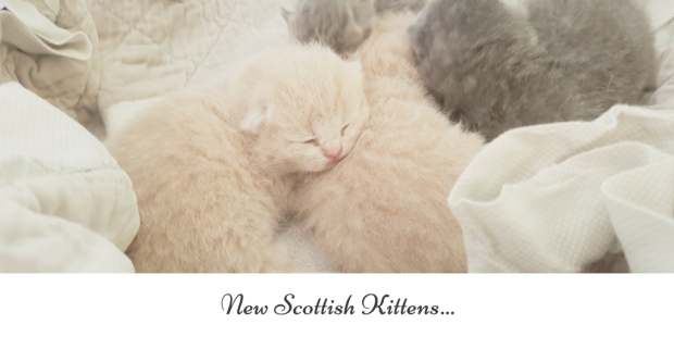 New Scottish Kittens...