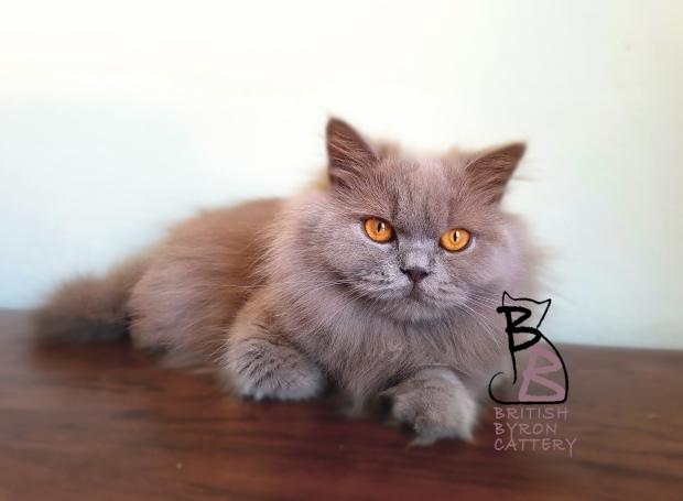 gemma british longhair british byron cattery