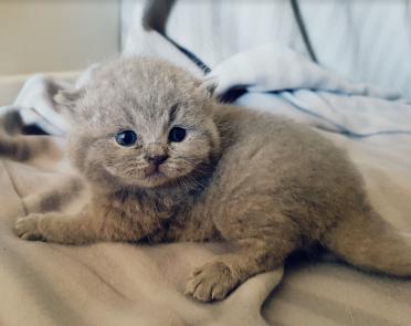 british byron cattery british shortahir cuccioli 1