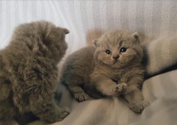 british byron cattery british shortahir cuccioli 2