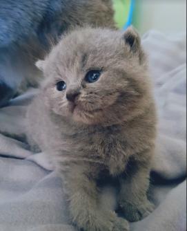 british byron cattery british shortahir cuccioli 3