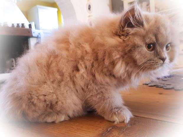gatto british longhair british byron cattery