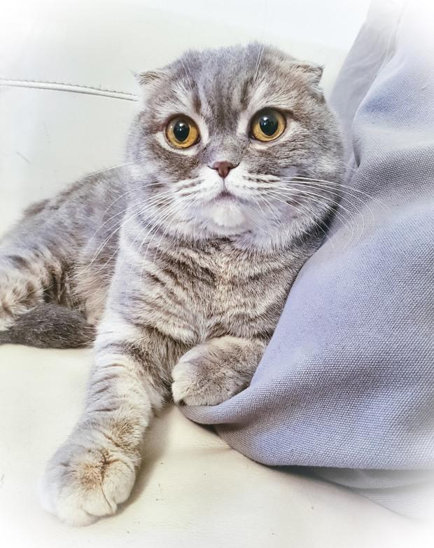 gatto scottish fold Candy allevamento british byron veneto (italia)