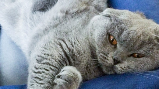 scottish fold blue dell'allevamento british byron